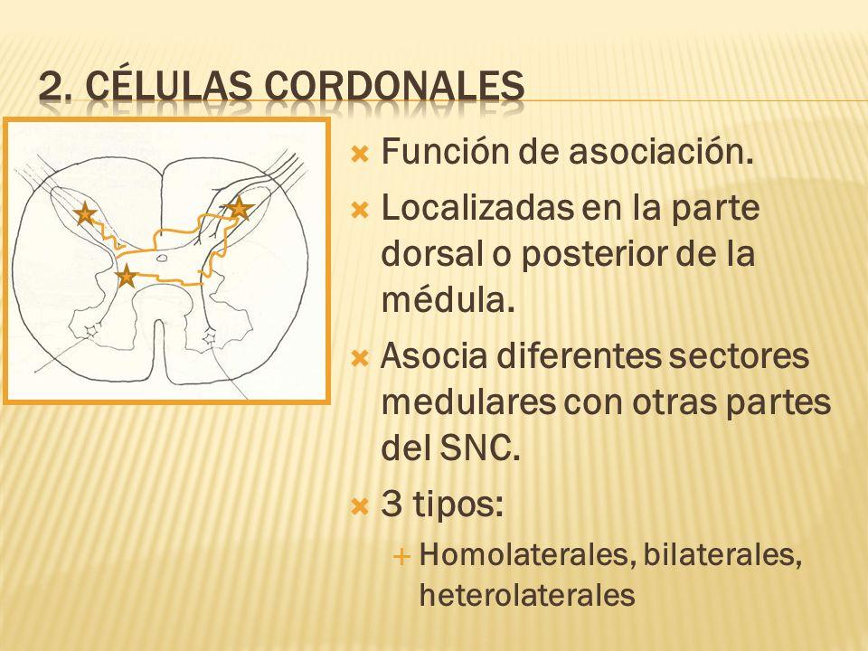 2. Células cordonales Función de asociación.