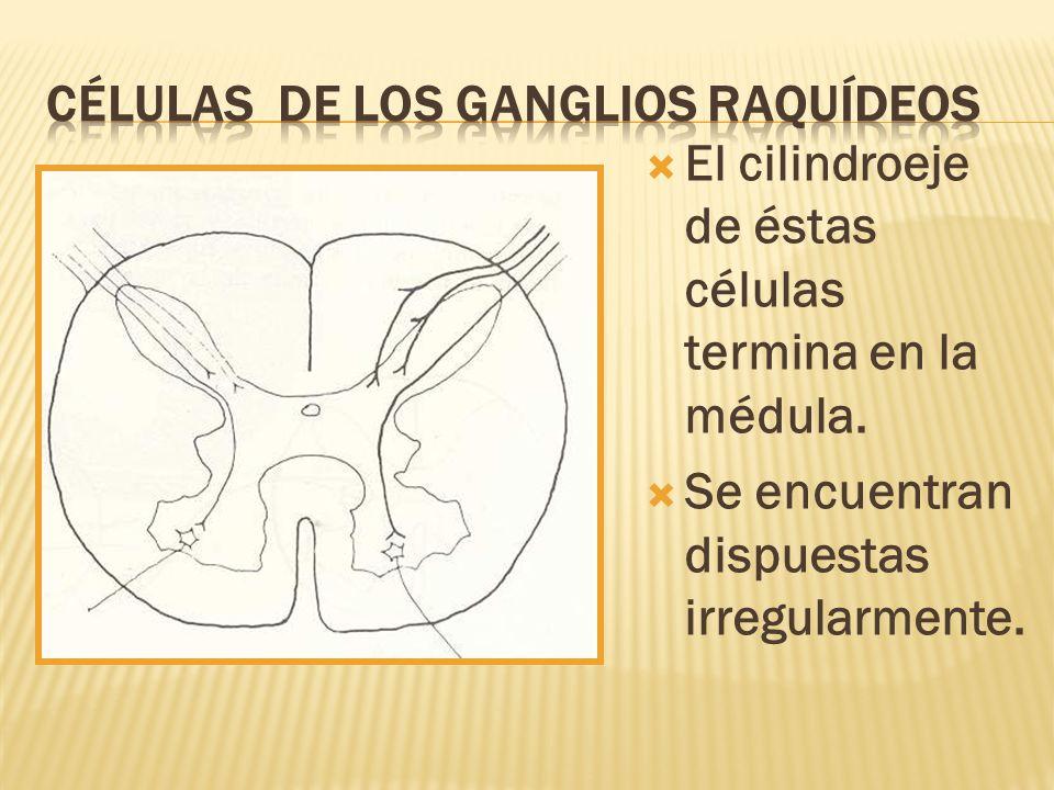Células de los gAnglios raquídeos