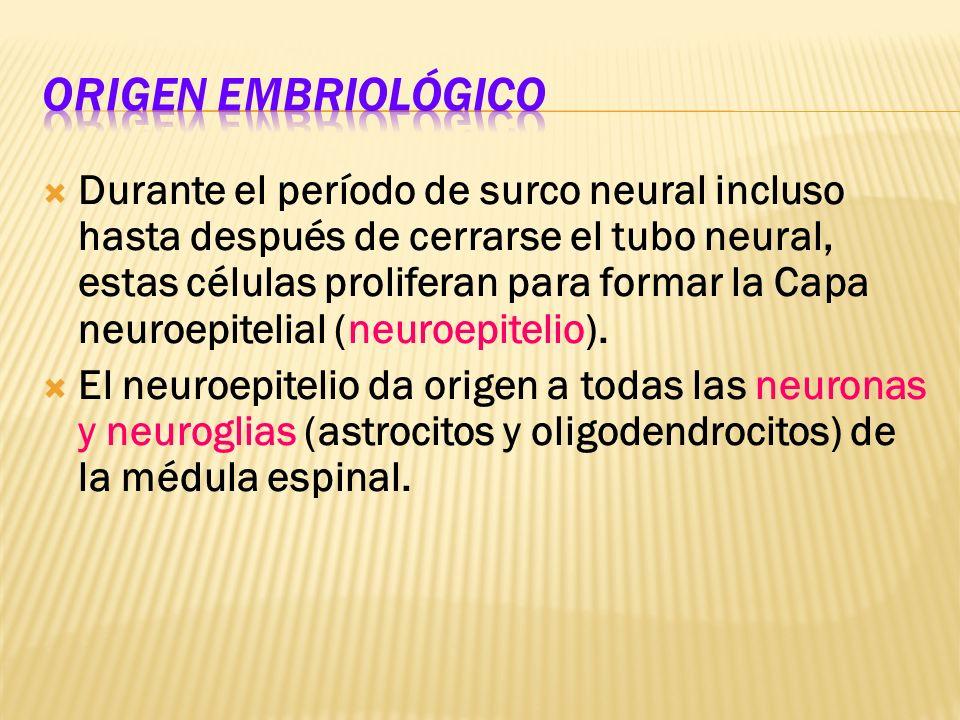 Origen embriológico