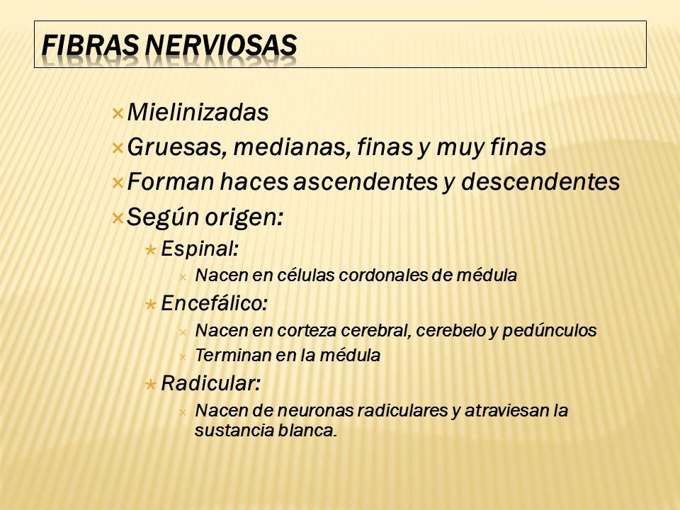 Fibras nerviosas Mielinizadas Gruesas, medianas, finas y muy finas