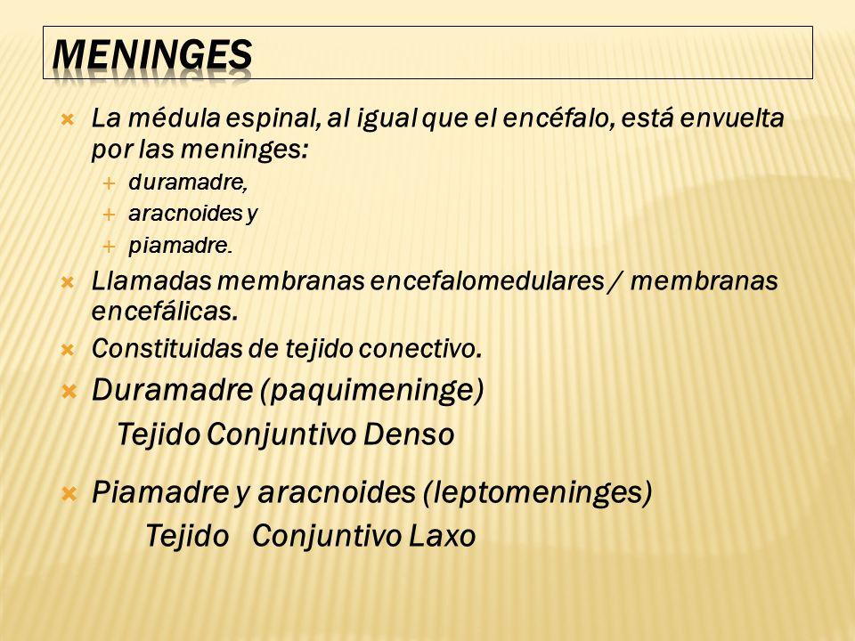 MENINGES Duramadre (paquimeninge) Tejido Conjuntivo Denso