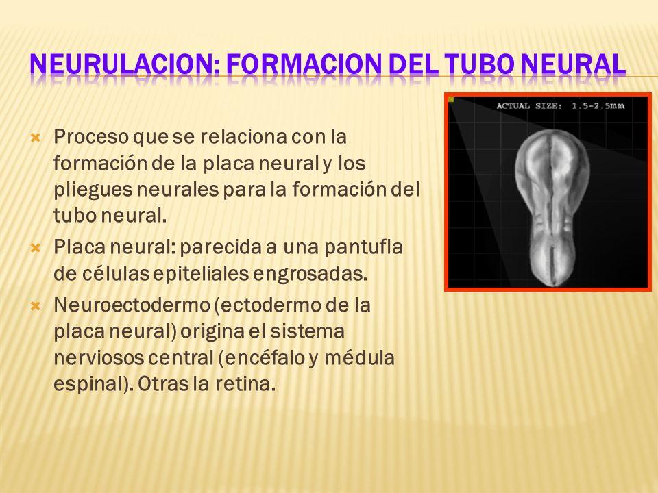 NEURULACION: FORMACION DEL TUBO NEURAL
