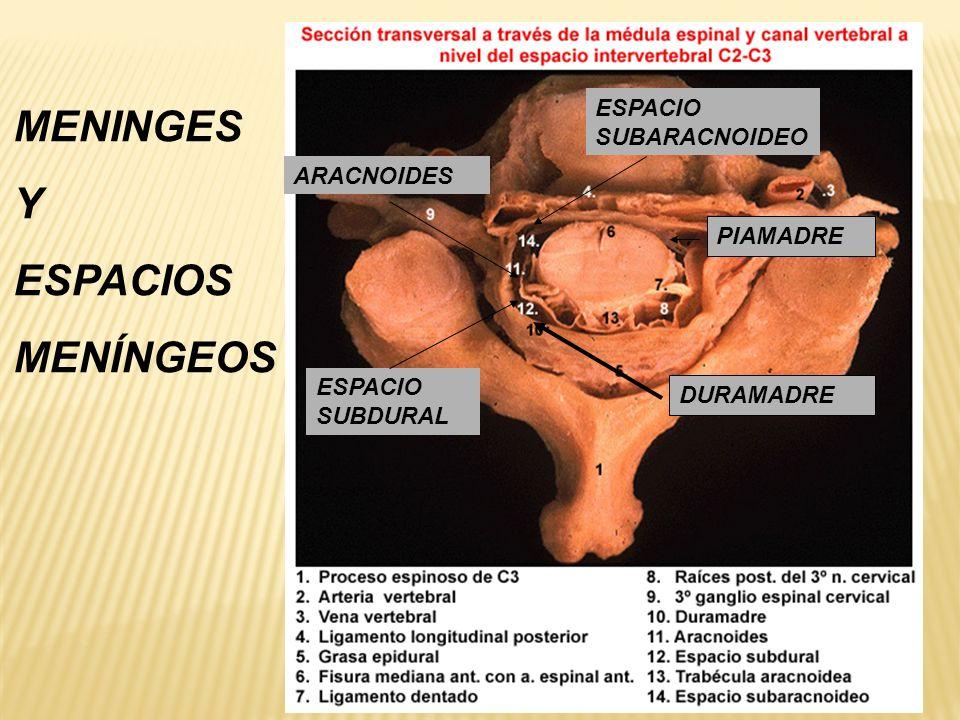 MENINGES Y ESPACIOS MENÍNGEOS ESPACIO SUBARACNOIDEO ARACNOIDES