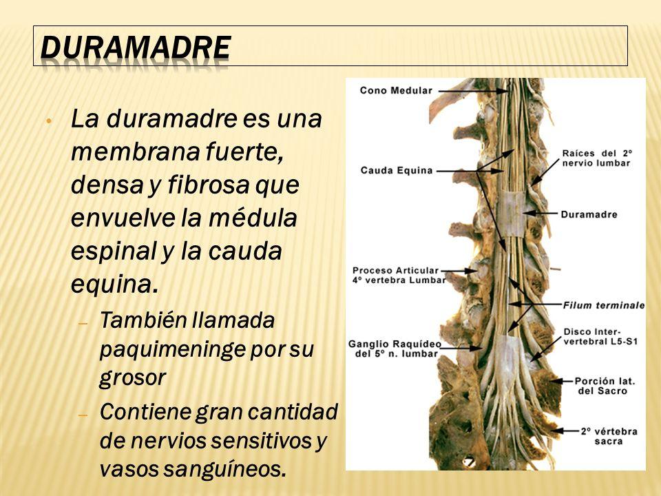 DURAMADRE La duramadre es una membrana fuerte, densa y fibrosa que envuelve la médula espinal y la cauda equina.