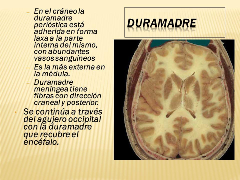 En el cráneo la duramadre períóstica está adherida en forma laxa a la parte interna del mismo, con abundantes vasos sanguíneos