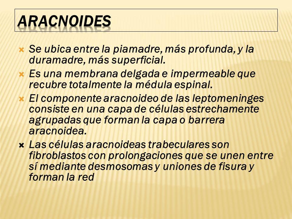 ARACNOIDES Se ubica entre la piamadre, más profunda, y la duramadre, más superficial.