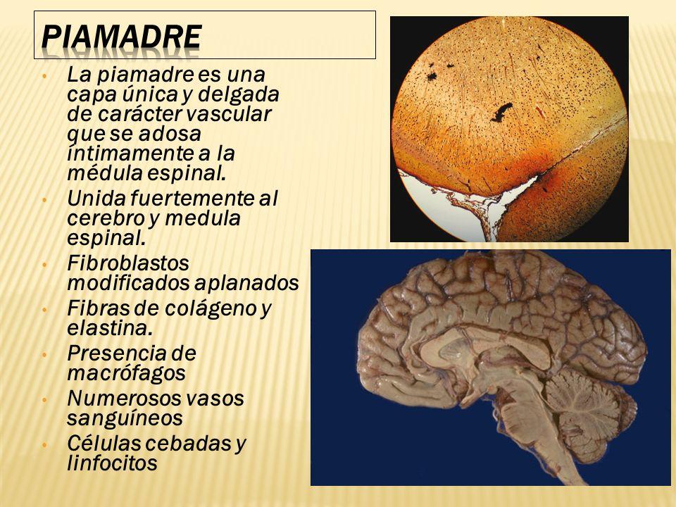 PIAMADRE La piamadre es una capa única y delgada de carácter vascular que se adosa íntimamente a la médula espinal.