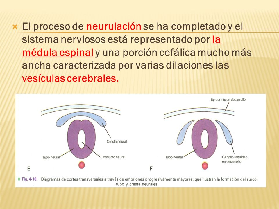 El proceso de neurulación se ha completado y el sistema nerviosos está representado por la médula espinal y una porción cefálica mucho más ancha caracterizada por varias dilaciones las vesículas cerebrales.