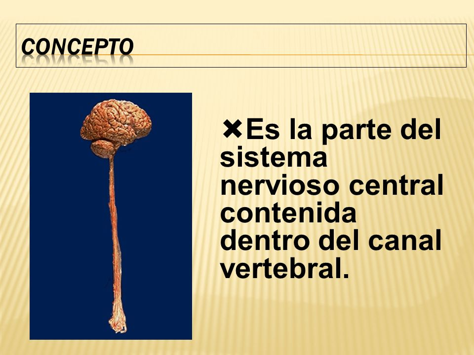 CONCEPTO Es la parte del sistema nervioso central contenida dentro del canal vertebral.