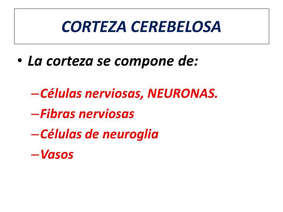 CORTEZA CEREBELOSA La corteza se compone de: