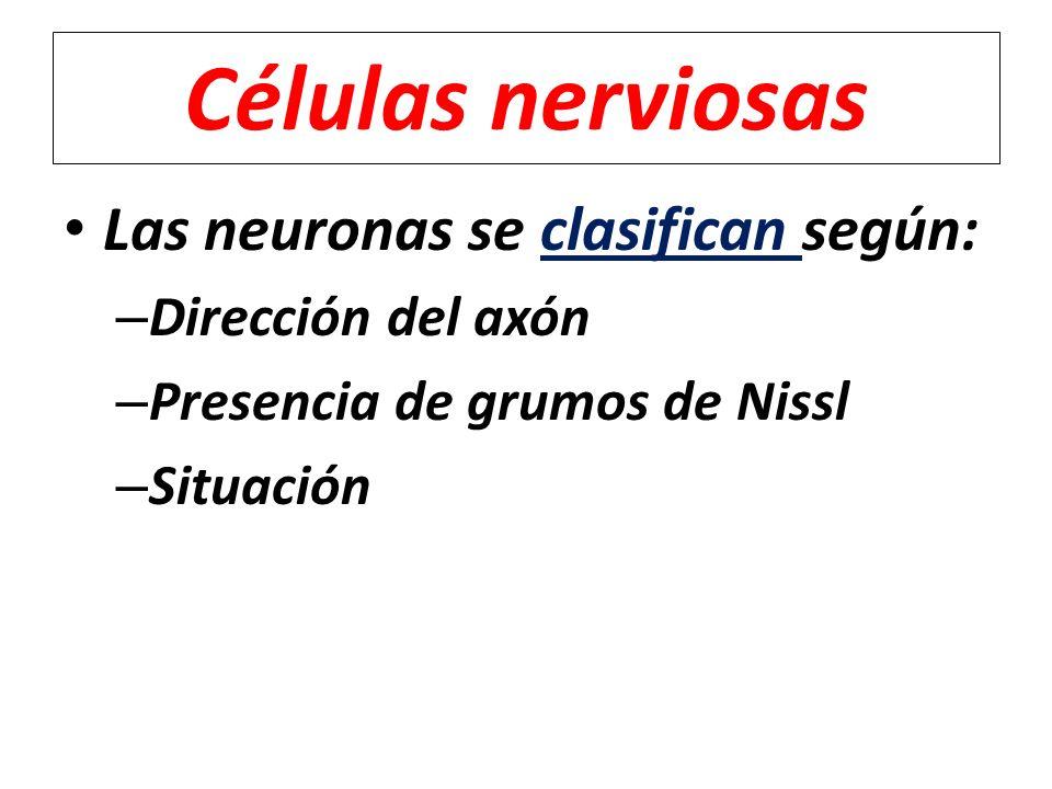 Células nerviosas Las neuronas se clasifican según: Dirección del axón
