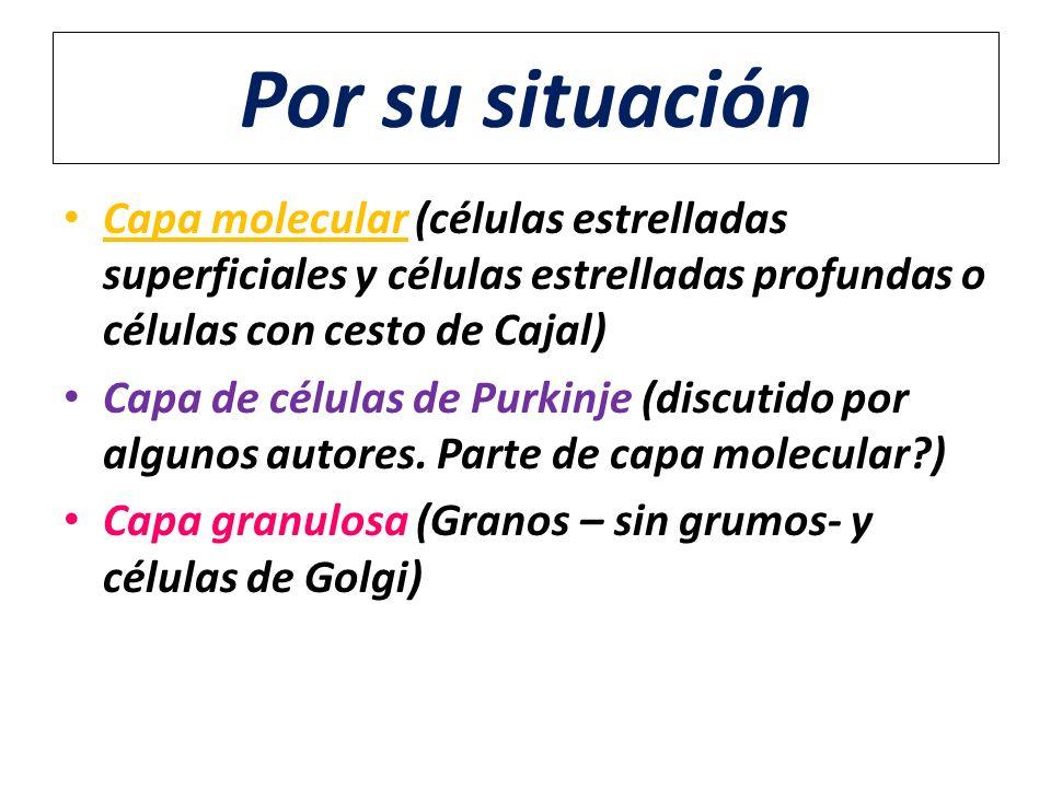 Por su situación Capa molecular (células estrelladas superficiales y células estrelladas profundas o células con cesto de Cajal)