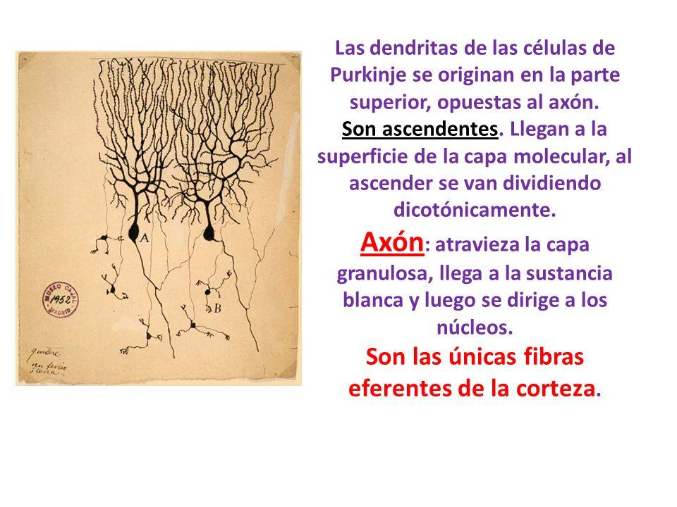 Las dendritas de las células de Purkinje se originan en la parte superior, opuestas al axón.