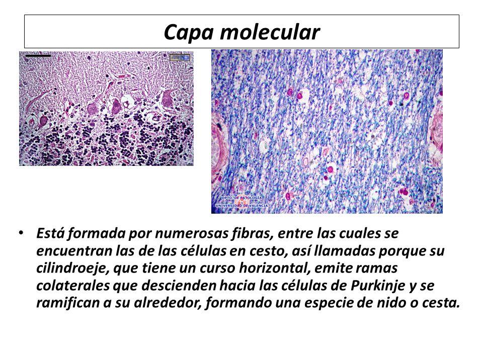 Capa molecular