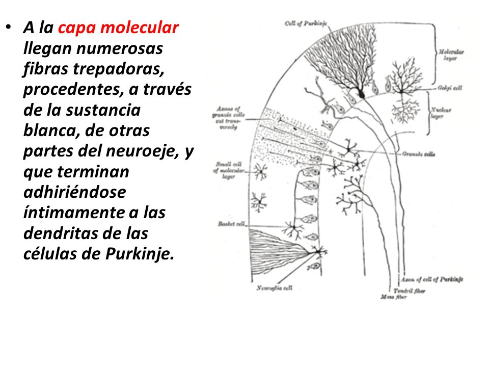 A la capa molecular llegan numerosas fibras trepadoras, procedentes, a través de la sustancia blanca, de otras partes del neuroeje, y que terminan adhiriéndose íntimamente a las dendritas de las células de Purkinje.