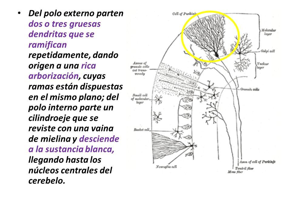 Del polo externo parten dos o tres gruesas dendritas que se ramifican repetidamente, dando origen a una rica arborización, cuyas ramas están dispuestas en el mismo plano; del polo interno parte un cilindroeje que se reviste con una vaina de mielina y desciende a la sustancia blanca, llegando hasta los núcleos centrales del cerebelo.