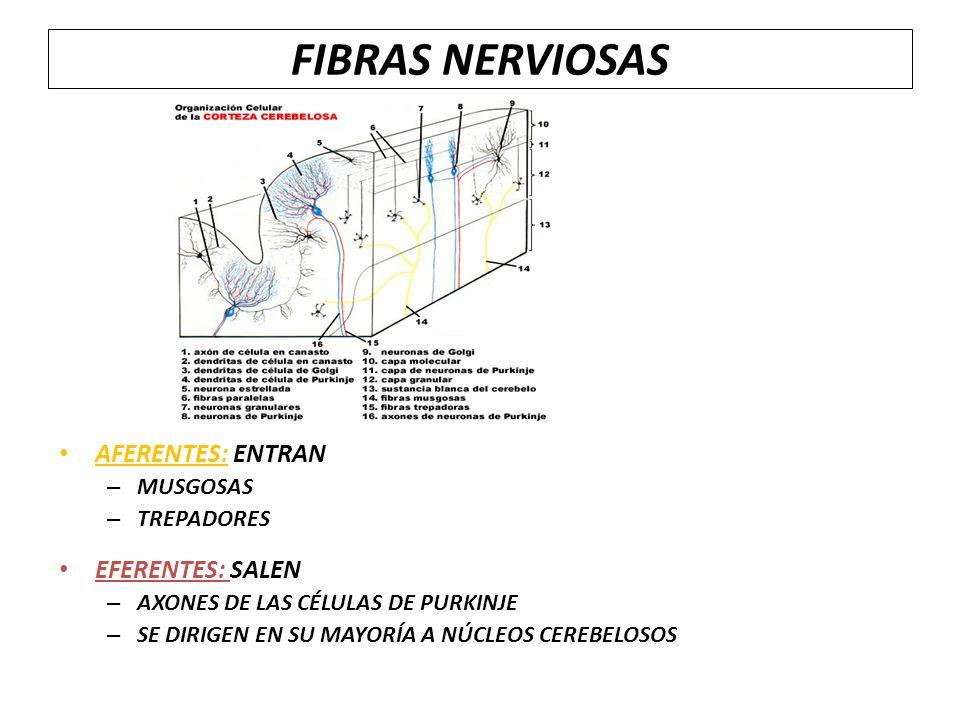 FIBRAS NERVIOSAS AFERENTES: ENTRAN EFERENTES: SALEN MUSGOSAS