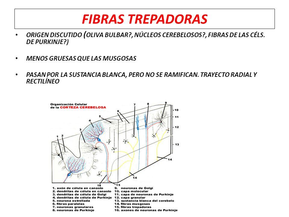 FIBRAS TREPADORAS ORIGEN DISCUTIDO (OLIVA BULBAR , NÚCLEOS CEREBELOSOS , FIBRAS DE LAS CÉLS. DE PURKINJE )