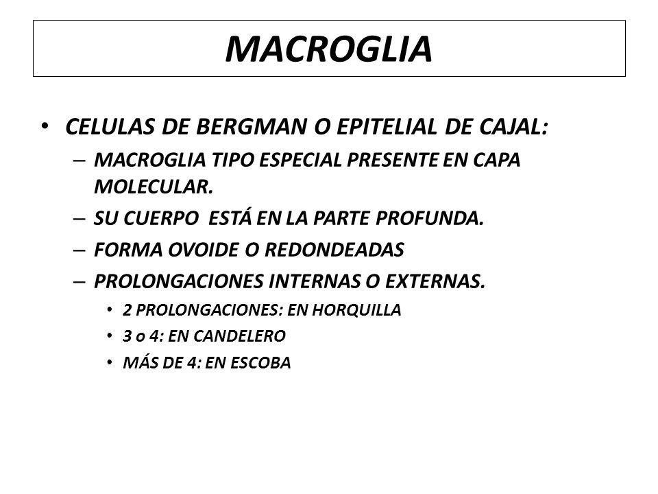 MACROGLIA CELULAS DE BERGMAN O EPITELIAL DE CAJAL: