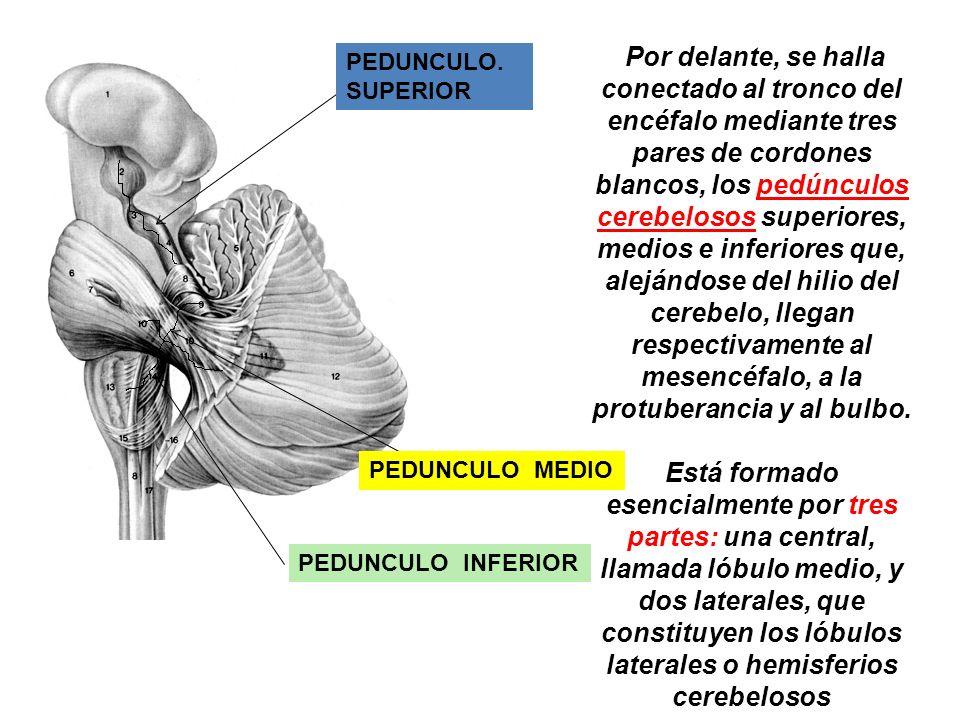 Por delante, se halla conectado al tronco del encéfalo mediante tres pares de cordones blancos, los pedúnculos cerebelosos superiores, medios e inferiores que, alejándose del hilio del cerebelo, llegan respectivamente al mesencéfalo, a la protuberancia y al bulbo.