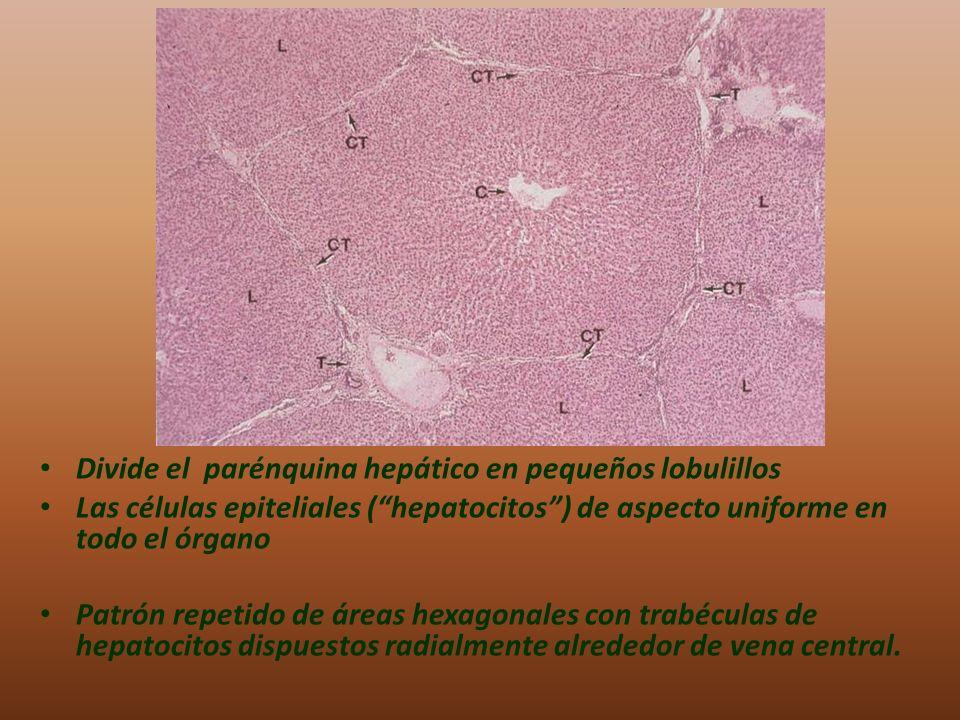 Divide el parénquina hepático en pequeños lobulillos
