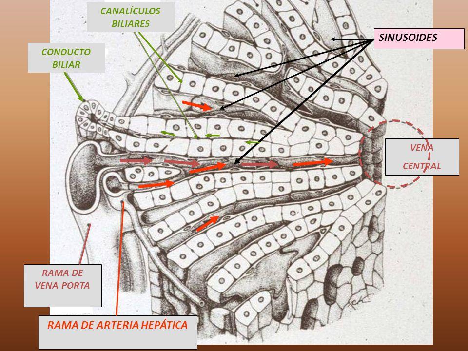 RAMA DE ARTERIA HEPÁTICA