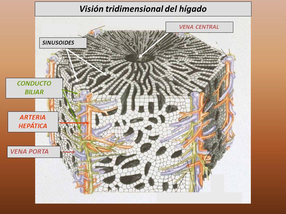 Visión tridimensional del hígado