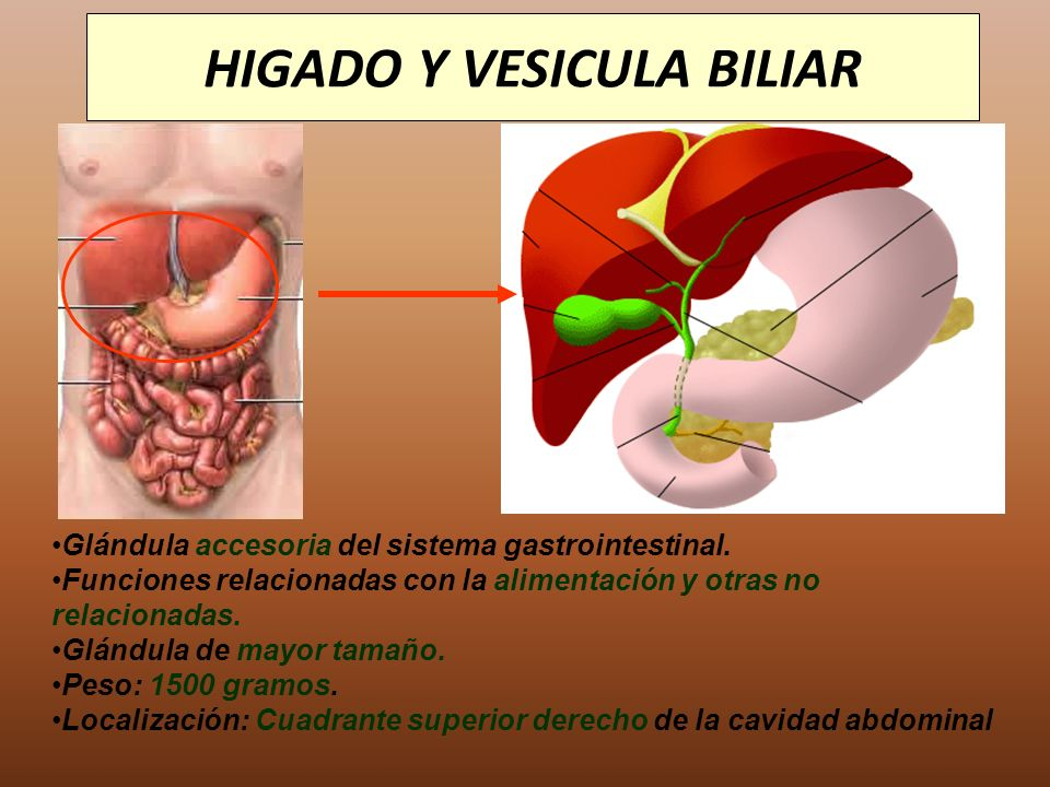 Atractivo Ubicación De La Vesícula Biliar Anatomía Friso - Anatomía ...