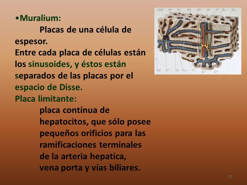 Muralium:. Placas de una célula de espesor