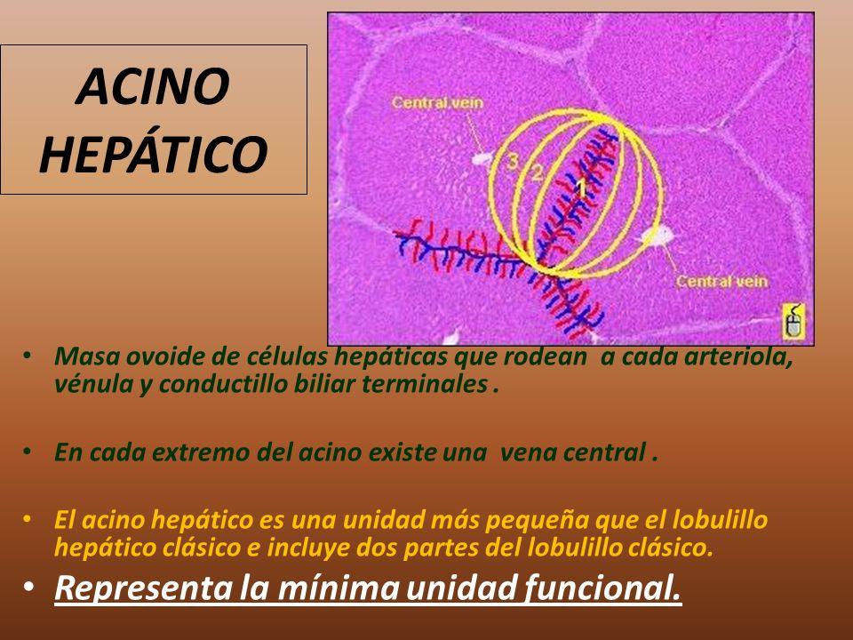 ACINO HEPÁTICO Representa la mínima unidad funcional.