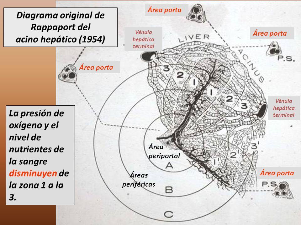 Diagrama original de Rappaport del acino hepático (1954)