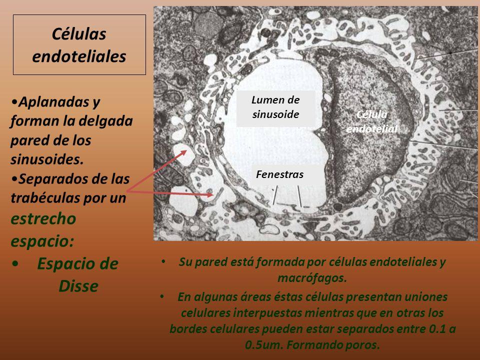 Su pared está formada por células endoteliales y macrófagos.