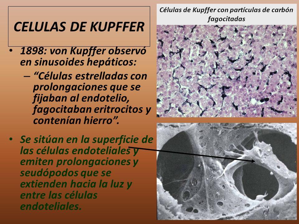 Células de Kupffer con partículas de carbón fagocitadas