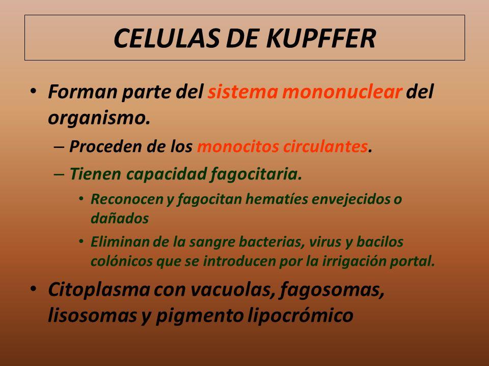 CELULAS DE KUPFFER Forman parte del sistema mononuclear del organismo.