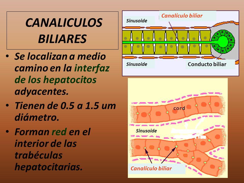 CANALICULOS BILIARES Canalículo biliar. Sinusoide. Se localizan a medio camino en la interfaz de los hepatocitos adyacentes.