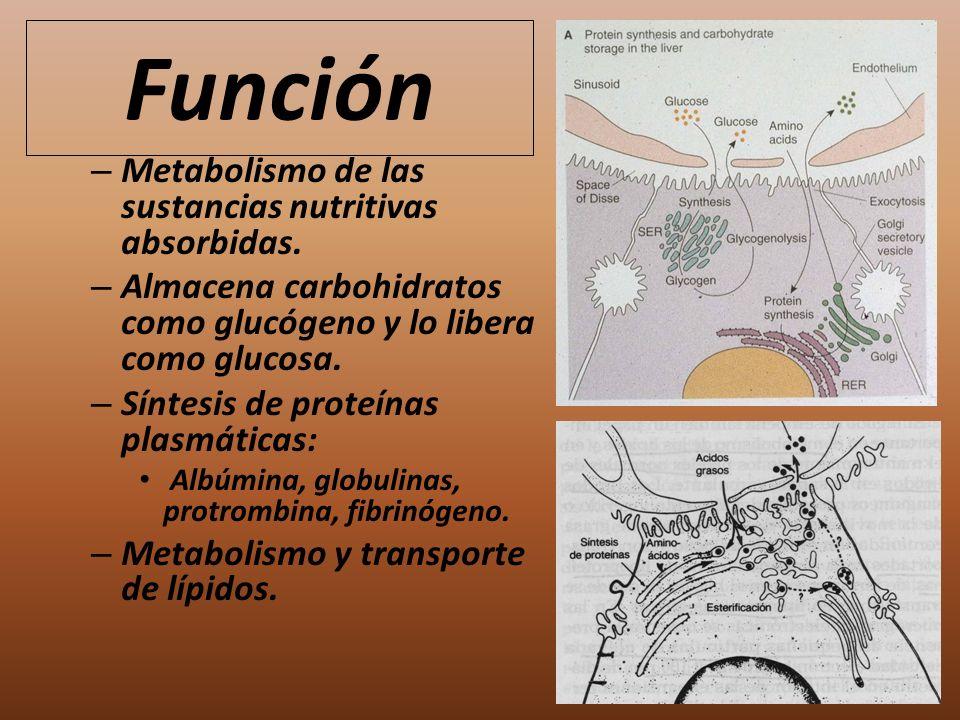 Función Metabolismo de las sustancias nutritivas absorbidas.