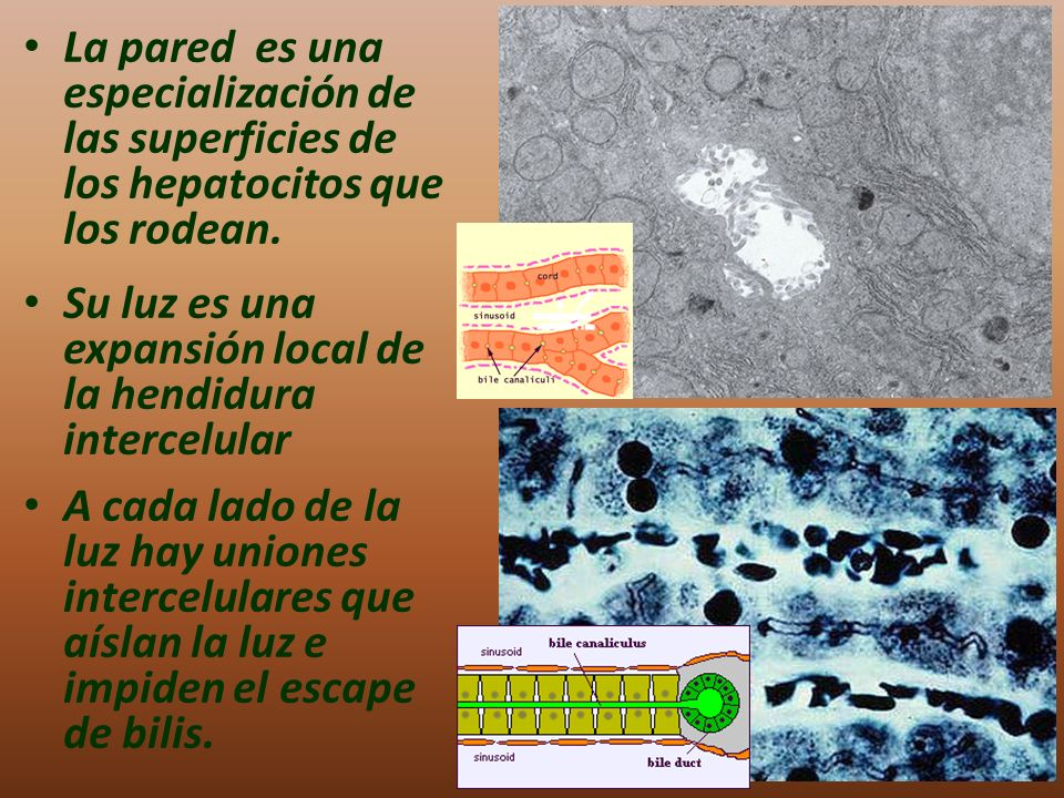 La pared es una especialización de las superficies de los hepatocitos que los rodean.