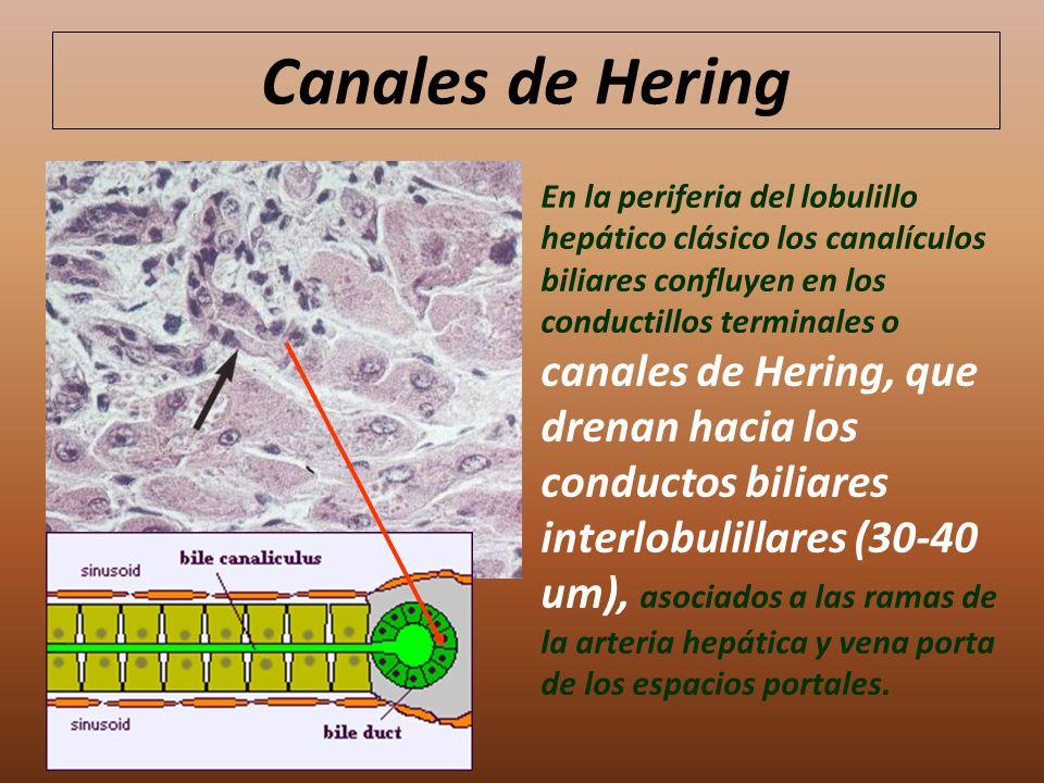 Canales de Hering
