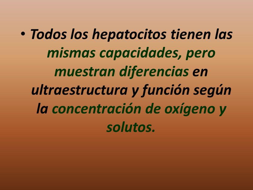 Todos los hepatocitos tienen las mismas capacidades, pero muestran diferencias en ultraestructura y función según la concentración de oxígeno y solutos.