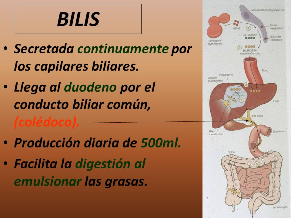BILIS Secretada continuamente por los capilares biliares.
