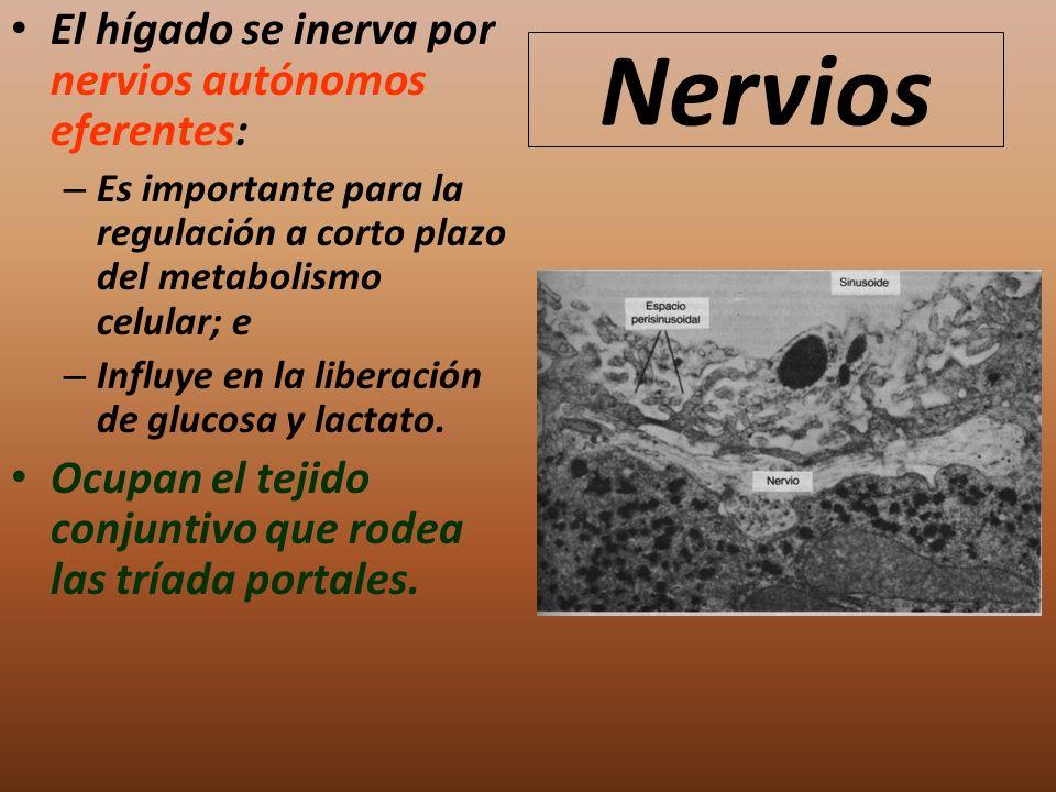 Nervios El hígado se inerva por nervios autónomos eferentes: