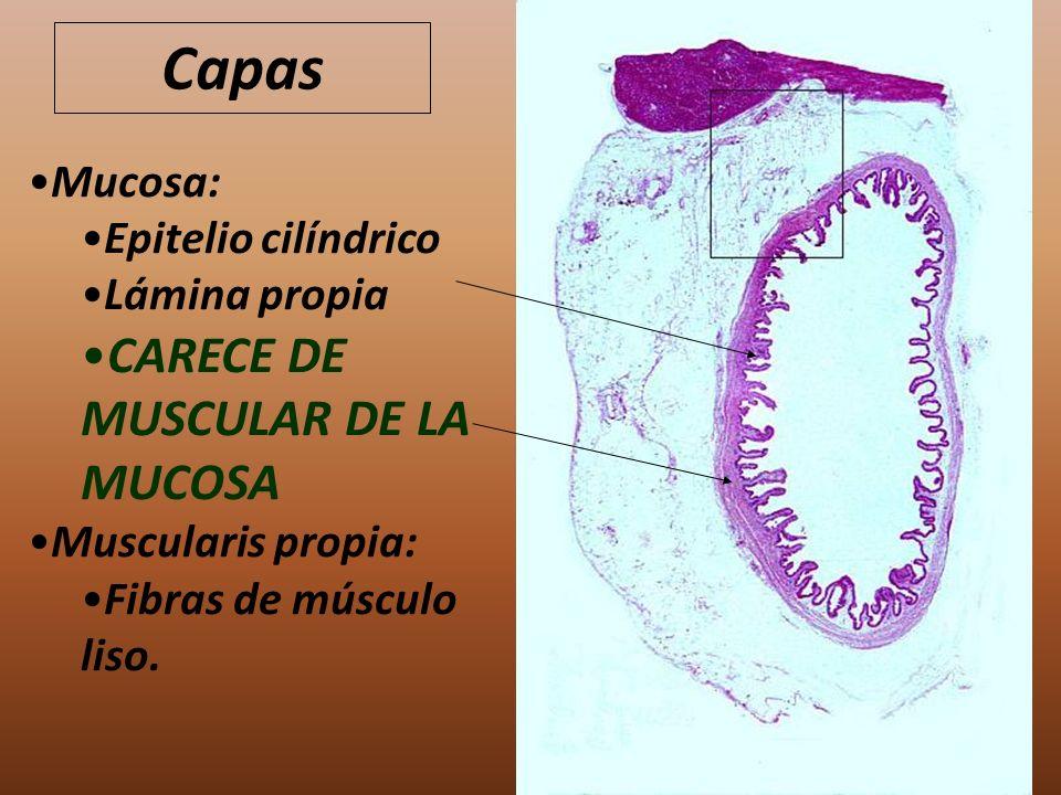 Capas CARECE DE MUSCULAR DE LA MUCOSA Mucosa: Epitelio cilíndrico