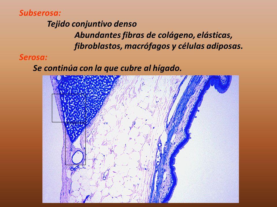 Subserosa: Tejido conjuntivo denso. Abundantes fibras de colágeno, elásticas, fibroblastos, macrófagos y células adiposas.