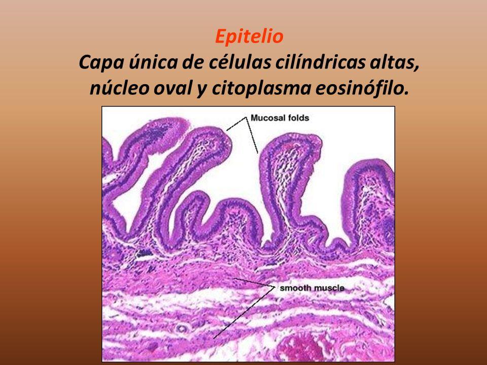 Epitelio Capa única de células cilíndricas altas, núcleo oval y citoplasma eosinófilo.
