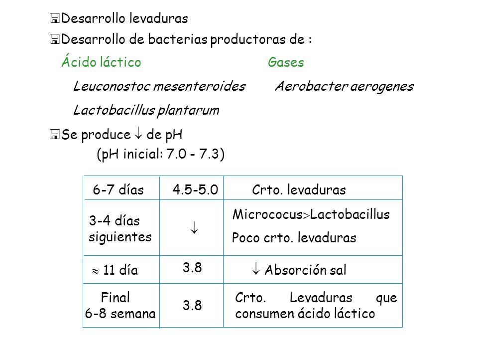 Desarrollo levaduras Desarrollo de bacterias productoras de : Ácido láctico. Gases. Leuconostoc mesenteroides.