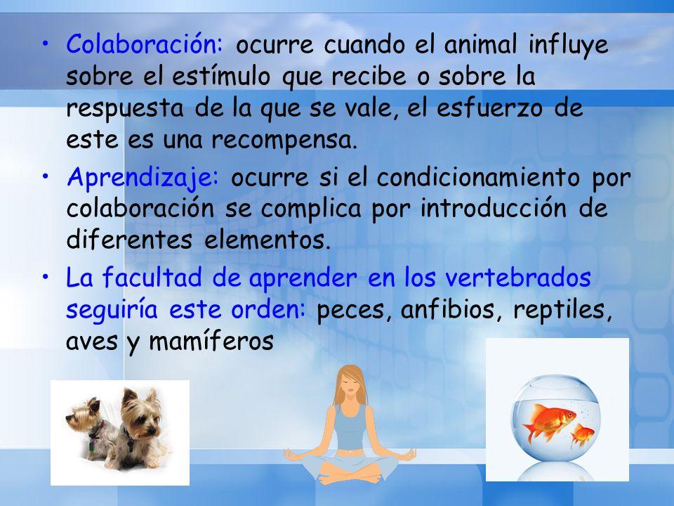 Colaboración: ocurre cuando el animal influye sobre el estímulo que recibe o sobre la respuesta de la que se vale, el esfuerzo de este es una recompensa.