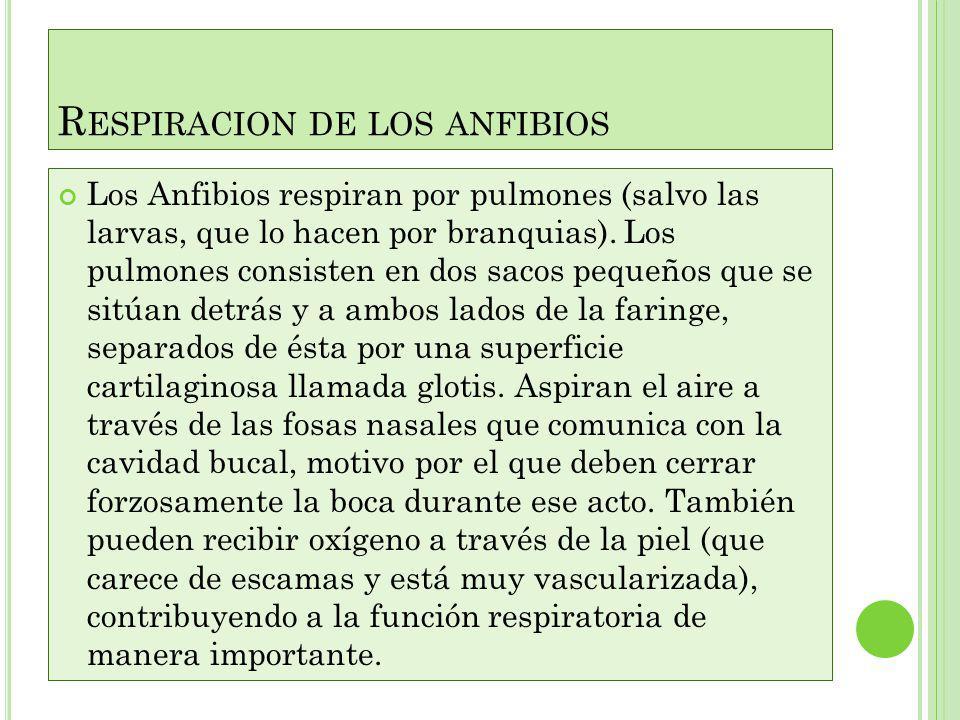 Respiracion de los anfibios
