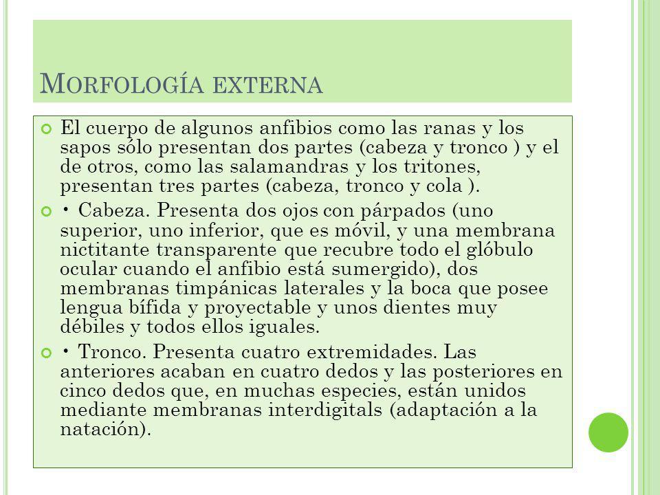 Morfología externa