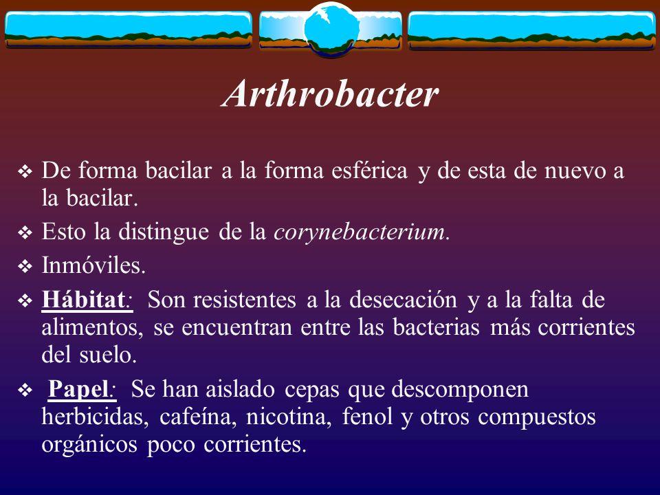 Arthrobacter De forma bacilar a la forma esférica y de esta de nuevo a la bacilar. Esto la distingue de la corynebacterium.