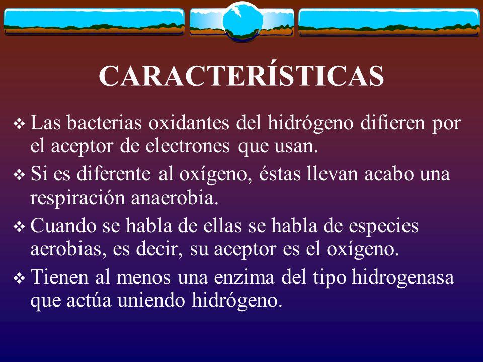 CARACTERÍSTICAS Las bacterias oxidantes del hidrógeno difieren por el aceptor de electrones que usan.